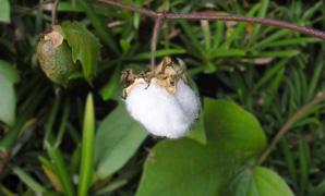 植木鉢で育ててみた綿